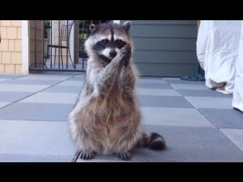 Raccoons, The Biggest Funny Compilation