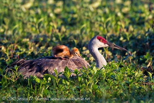 Sandhill Crane mama and chick by Jessica Yarnell