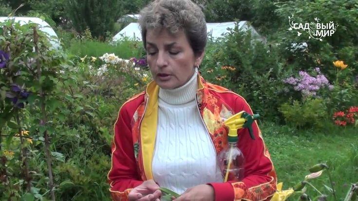 """Как ухаживать за лилиями. Вредители лилий. Сайт """"Садовый мир"""""""