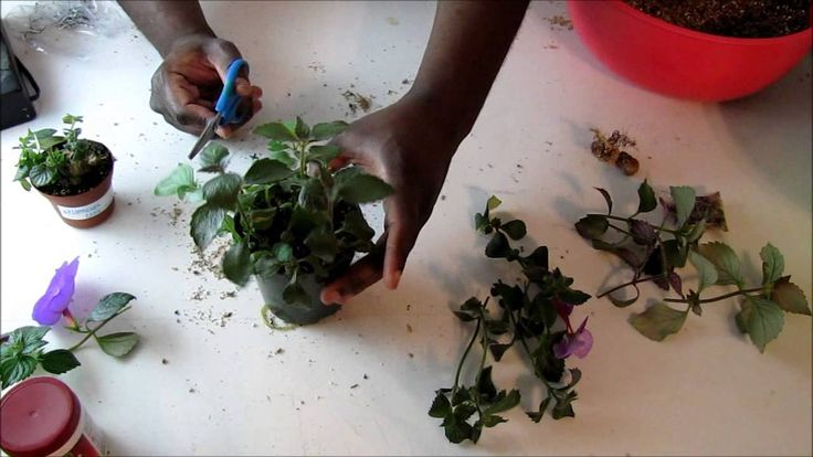 Potting Up Achimenes Tip Cuttings