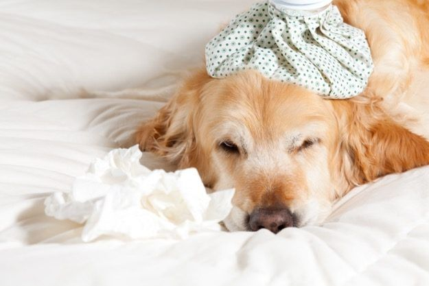 golden retriever with cold ice pack on head |10 Common Dog Illnesses and How to Treat Them