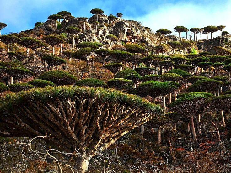 Pohon yang menakjubkan di Pulau Socotra di Yaman #goazam #travel #perjalanan #bepergian #yemen #yaman http://tipsrazzi.com/ipost/1523837958195896235/?code=BUlwoyhhd-r