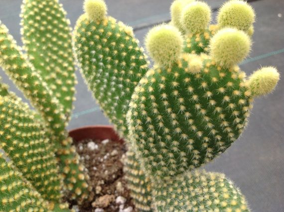 Cactus Opuntia microdasys, AKA Prickly Pears really unique cacti. Opuntia microdays, native to South America, is one of the more popular cacti