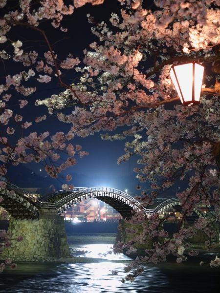 Cherry Blossoms in Kintai Bridge. Kintai Bridge is a historical wooden arch bridge, Iwakuni, Yamaguchi, Japan.