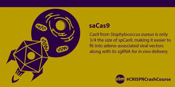 SaCas9 is just as efficient an editor as SpCas9 however it is only about three quarters the size of SpCas9. This makes it particular useful when it comes to in vivo delivery via adeno-associated viruses (AAV). In fact, scientists can fit not only SaCas9 but several gRNAs into the same AAV. #CRISPRCrashCourse #CRISPR #saCas9