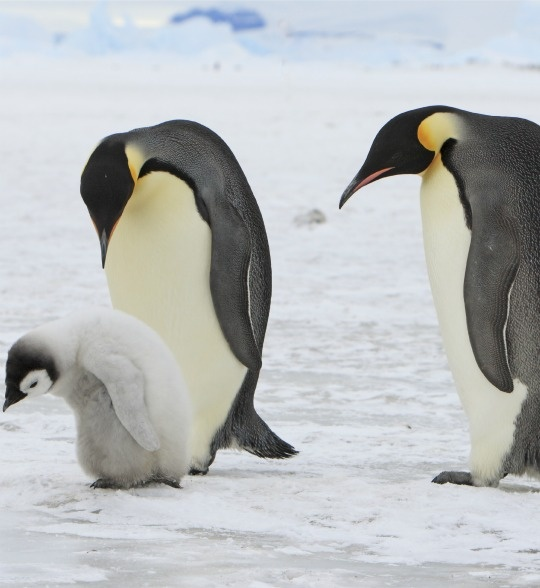 Emperor Penguins: Emperor penguins are one of the most immediately threatened species facing climate change devastation. Emperor penguins spend their days on thick sea ice in the Antarctic, where they mate, rear chicks, eat, and molt. They fight to find habitats to raise their chicks as available ice shrinks. And thinning ice has meant dwindling numbers of krill, one of the Emperor Penguin's key sources of nutrition.