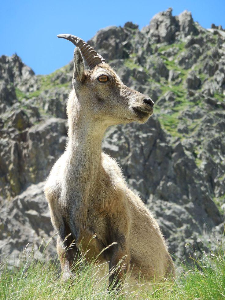 Bouquetin - Parc du Mercantour - en rando vers le col de Fenestre à la frontière Italienne vous ne pourrez pas rater les troupeaux de bouquetins