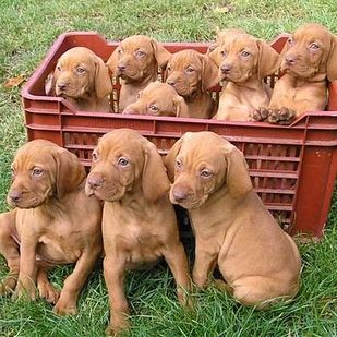 Wirehaired Vizsla | 21 Awesome Dog Breeds You've Never Heard Of And Need To Know About Immediately