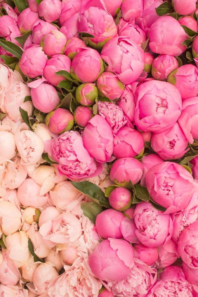 Pretty pink peonies in Paris