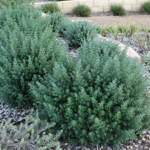 Westringia fruticosa - can be clipped tightly or allowed to form a dense screen naturally. Very drought tolerant. Full sun to part shade