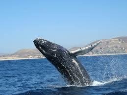 #Ballenas #PuertoVallarta #Jorobada #Yubarta #Vallarta #PtoVallarta #MegustaVallarta #Whale