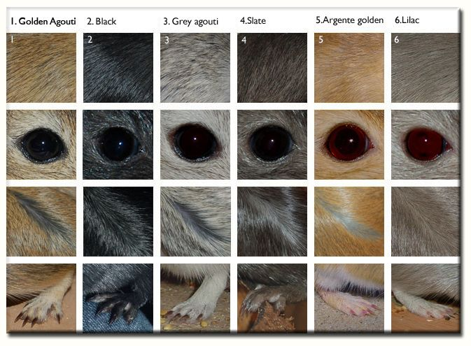 Basic gerbil coat colours