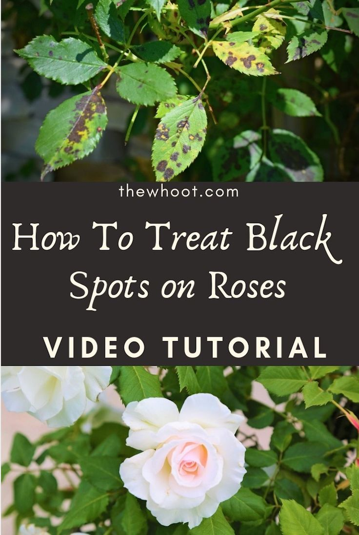 How To Treat Black Spots On Roses Organically The Whoot In 2020 Black Spot On Roses Planting Roses Rose Care