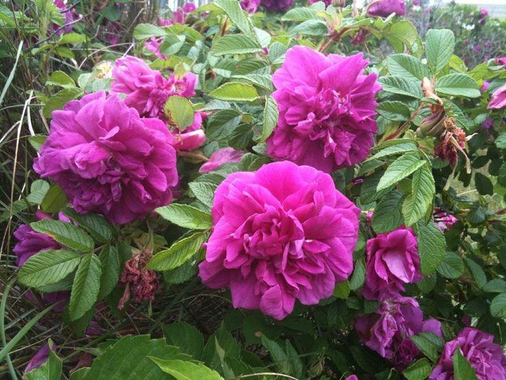 Роза Ругоза сорт Царица Севера. куст высотой до 120 см со светло-зелеными заостренными листочками, однократного, иногда повторяющегося цветения. Цветы махрового типа, интенсивно-розовые с фиолетовым оттенком, достигают 7 см в диаметре. Данный сорт роз особо популярен в России, Финляндии, Норвегии и Эстонии.