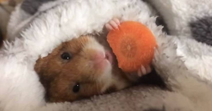 An adorable Japanese hamster named Mike has melted hearts around the world in a wonderful video that shows him munching on a tasty-looking carrot slice before going to sleep in an very cozy-looking bed. If you think Mike is as adorable as we do, then be sure to check out his owner's Youtube account, where there are many more videos of this loveable, sleepy little hamster!