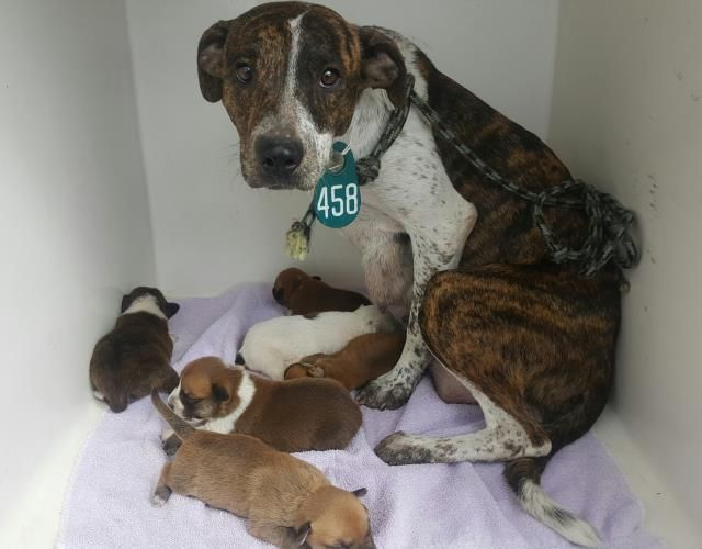 This DOG - ID#A470346 - URGENT - Harris County Animal Shelter in Houston, Texas - 3 WEEK OLD Female Plott Hound mix - at the shelter since Oct 14, 2016.