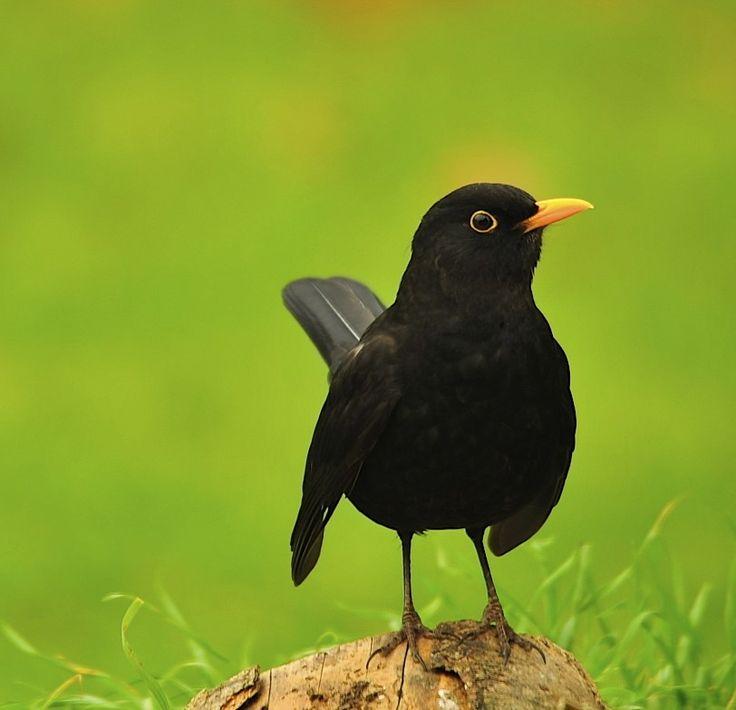 Blackbird mating pose