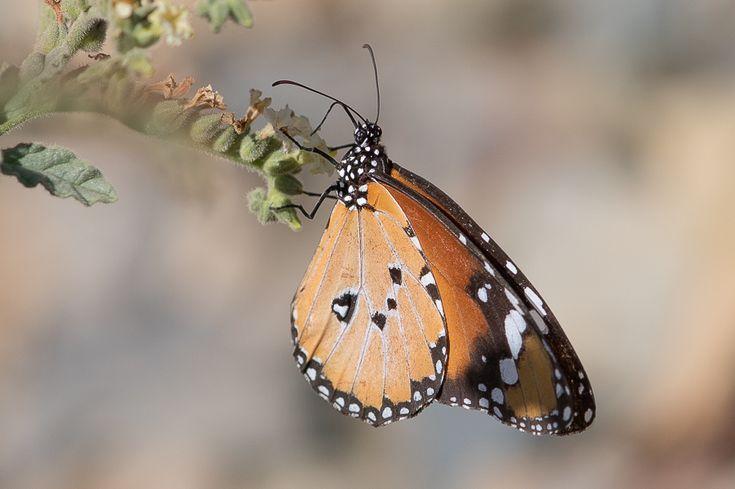 VIDA Foldaway Tote - Swallowtail Butterfly by VIDA DO0wUbhqH