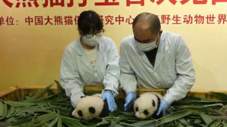 Two young giant panda twins made their debut to fans at a safari park in China. CBSN's Elaine Quijano has the latest on the adorable cubs.