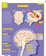 Le cerveau - Mon Quotidien, le seul site d'information quotidienne pour les 10 - 14 ans !
