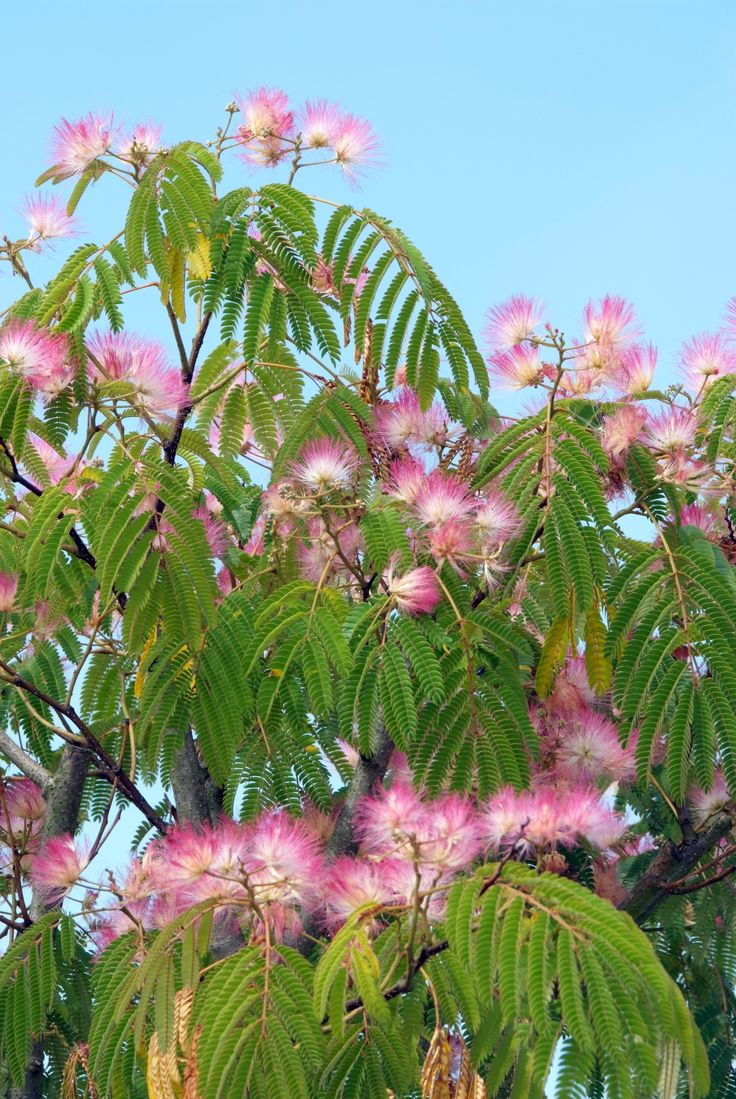 Albizia julibrissin - Perzische slaapboom ❤ Pinned by Cindy Vermeulen. Please check out my other 'sexy' boards. X