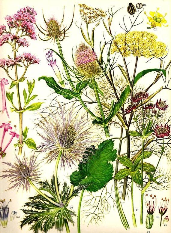 Vintage veldbloemen botanische 1970 kleur kunst origineel letterboek plaat 17 voorjaar zomer rode Valeriaan Teasel venkel berg-Sanicle