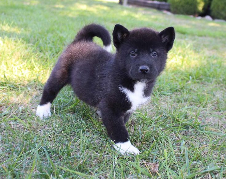 Jackie female AKC Akita puppie for sale in New Haven