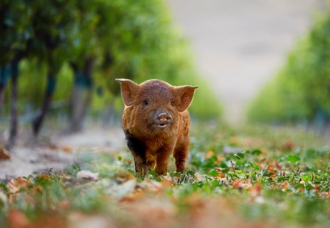 Miniature animals mow between the vines, while solar and bales of pruned vines create energy to run this New Zealand winery.