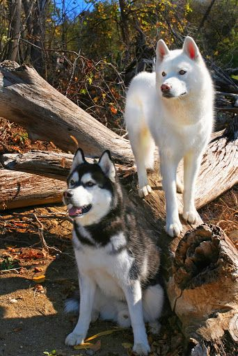 See more http://cutepuppyanddog.blogspot.com/ The white dog may be a husky. The black and white dog is an Alaskan Malemute. Mals have brown eyes and are larger. Huskies have blue eyes and are smaller. The black and white mal looks just like my sweet Cheyenne. Miss her!