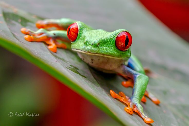 Photo Red-eye Tree Frog by Ariel Matias on 500px