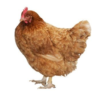 Good info on best laying hens, best meat birds and best broody chickens.