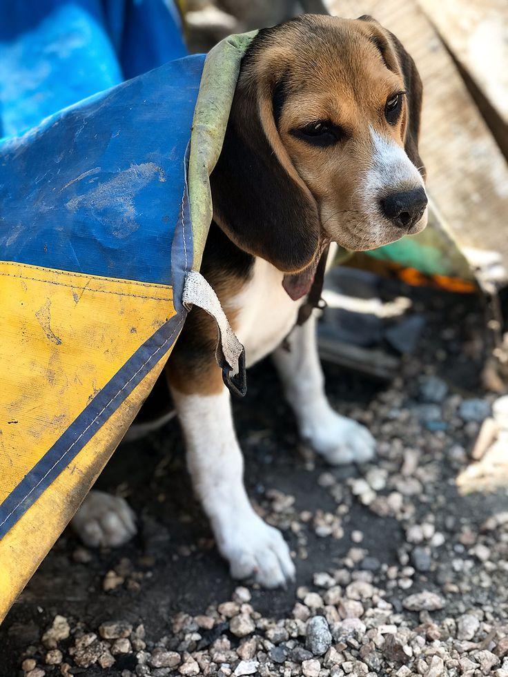 Bella la beagle beagle dog beagle beagle puppy