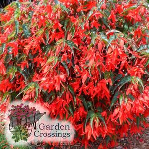 Santa Cruz™ Sunset Begonia boliviensis (Begonia) Super drapping habit, mix with supertunias, #provenwinners #gardencrossings #annuals