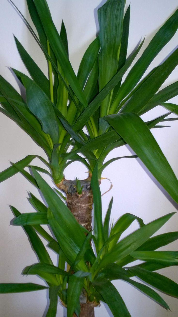 Törzses jukka, pálmaliliom, yucca gondozása, nevelése: világos, de tűzőnaptól mentes helyen gyorsan fejlődik és évekig a szoba dísze lesz http://balkonada.hu/jukka-palmaliliom-yucca-elephantipes-gondozasa/