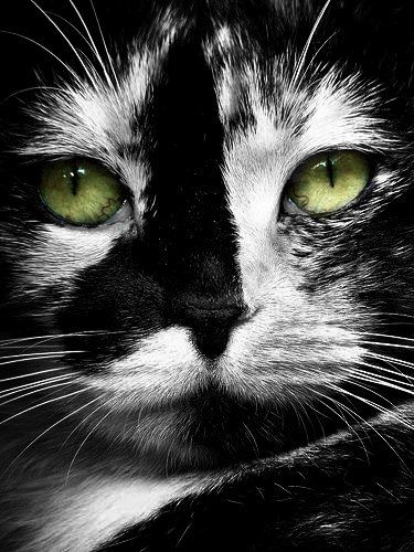 Black and white cat face with green eyes | cats and kittens
