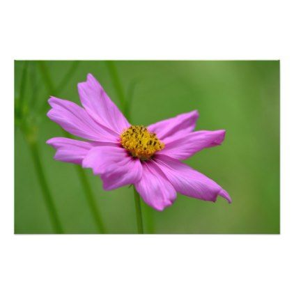 #photo - #Pink Cosmos Flower Photo Print 3