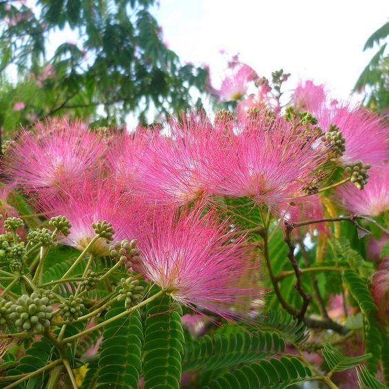 Albizia julibrissin - Arbre à soie - Mimosa de Constantinople - Acacia Nemu