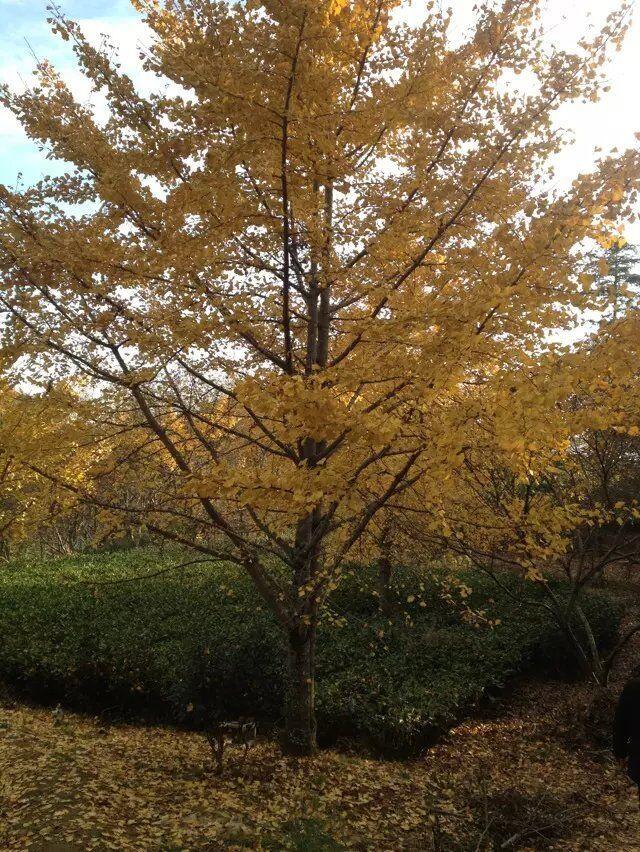 Ginkgo  tree 01