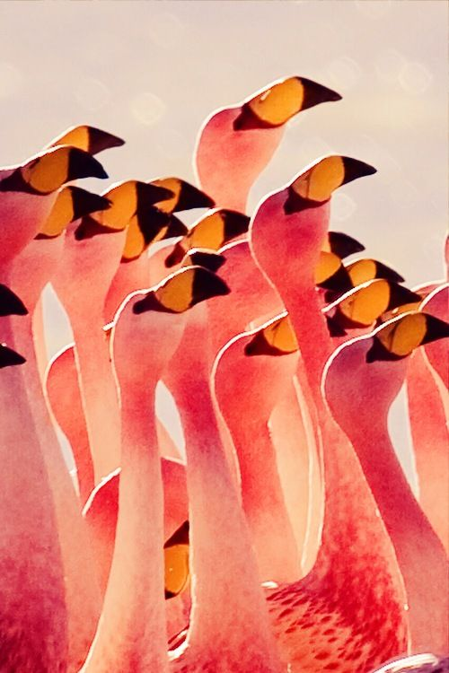 Flamingos.  One of the more interesting birds God created.  I think it might be the only 'pink' bird out there.