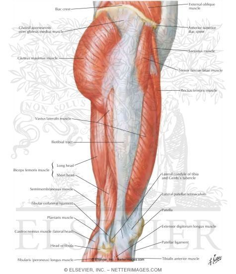 25+ best ideas about thigh muscle anatomy on pinterest | muscles, Muscles
