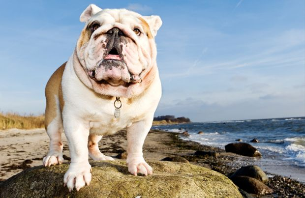 English Bulldog | Breed History, Information and Pictures | PawCulture