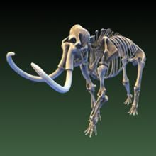 3D model of Mammuthus primigenius. Woolly mammoths shared their Arctic ecosystems with the first humans in North America, and scientists continue to debate how much human hunting played a role in the extinction of these giants less than 10,000 years ago. The exhibit skeleton was recovered from Alaska in 1952, and then purchased in 1966 from the American Museum of Natural History, in New York, for the Ice Age Hall exhibit.  Smithsonian X 3D http://3d.si.edu/