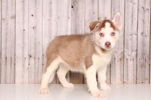 Siberian Husky puppy for sale in MOUNT VERNON, OH. ADN-52091 on PuppyFinder.com Gender: Male. Age: 9 Weeks Old