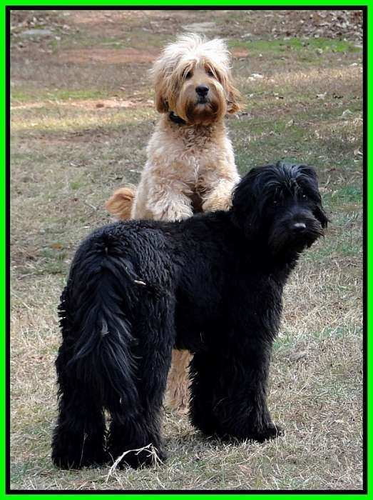 Southern Charm Labradoodles - American and Australian Labradoodle puppy Breeder, American and Australian Labradoodle puppies For Sale in Georgia, Australian and American Labradoodle Dog Breeders Georgia - train