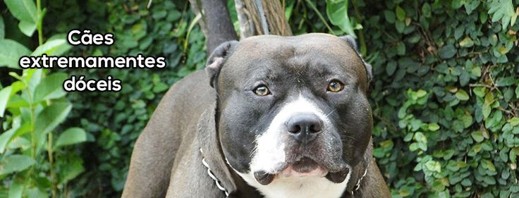 I have a kennel specializing in producing American Pit Bull Terrier in Brazil. We produce #pitbulls dogs with excellent temperament, great muscle mass, big heads and thick bones. Produced in various colors, bluenose, rednose and blacknose. Come see the best of pitbull breeding #dogs in Brazil. We have several puppies for sale, #puppies We ship to anywhere in the world. http://www.pitbull.vet.br/  #filhotesdepitbull, #canilpitbull