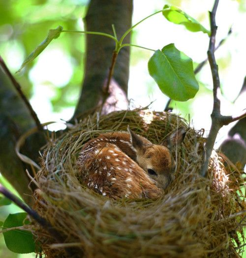 Fawn in a bird's nest...