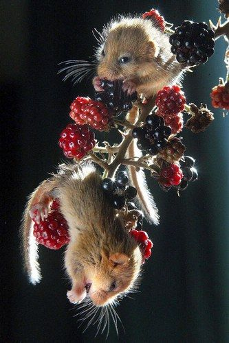 harvest mice having something delicious for dinner