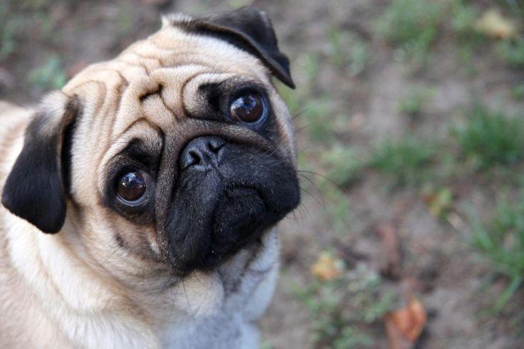 Cuidados del perro de raza pug