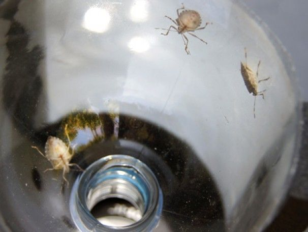 Traps for fighting the inevitable stink bug invasion - Capital Weather Gang - The Washington Post
