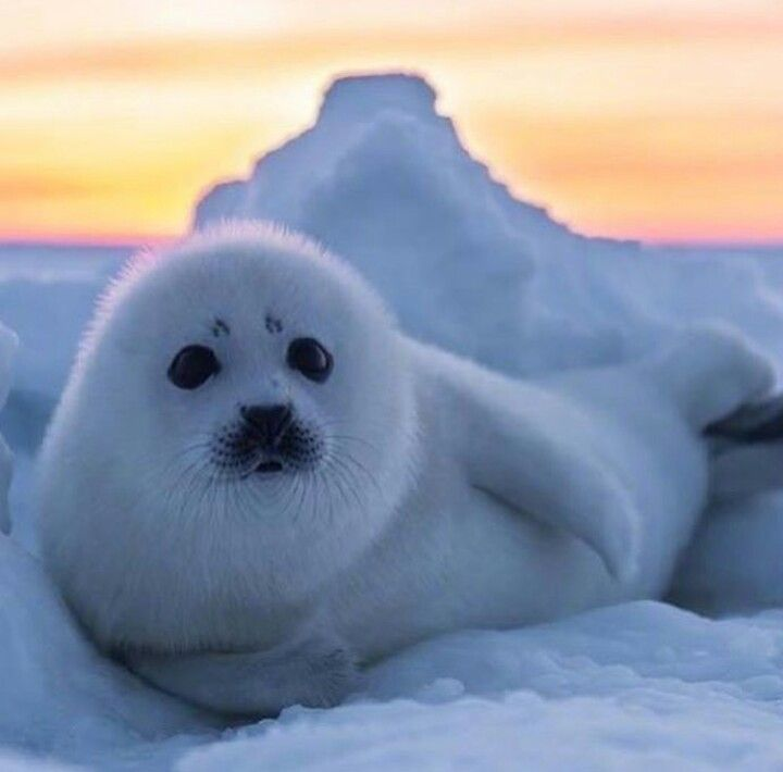 Картинка пушистого тюленя вертикальная